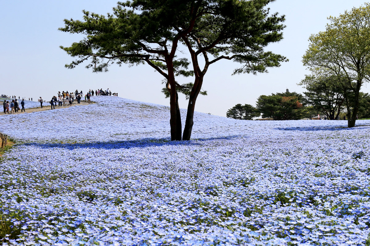 Hitachi Seaside Park in Spring