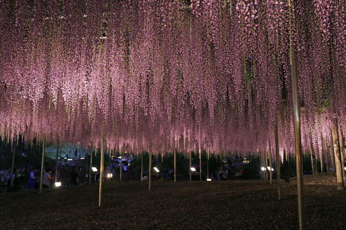 Wisteria Light Up Ashikaga Flower Park
