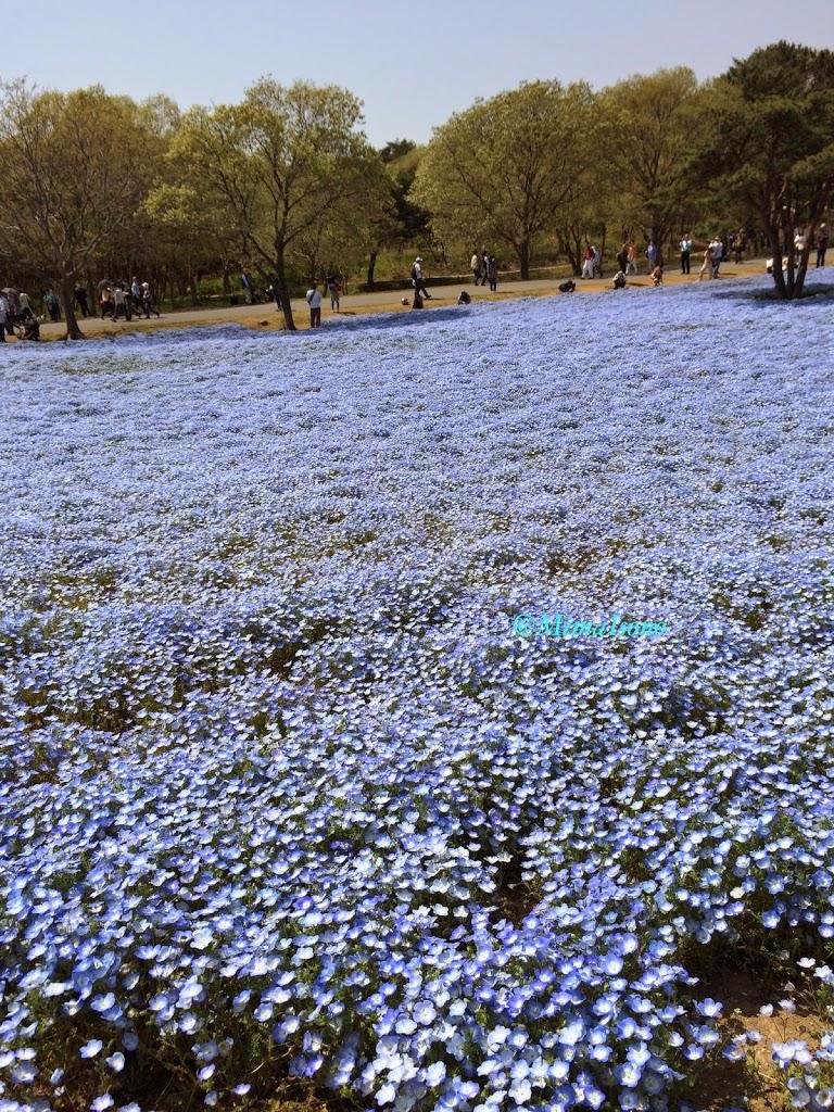 Hitachi Seaside Park in Spring