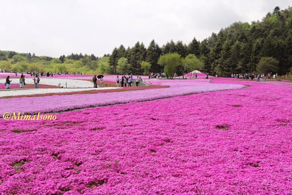 Fuji Shibazakura Matsuri