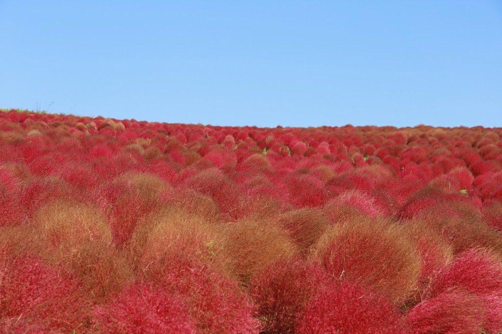 Red Kochia Field Ibaraki