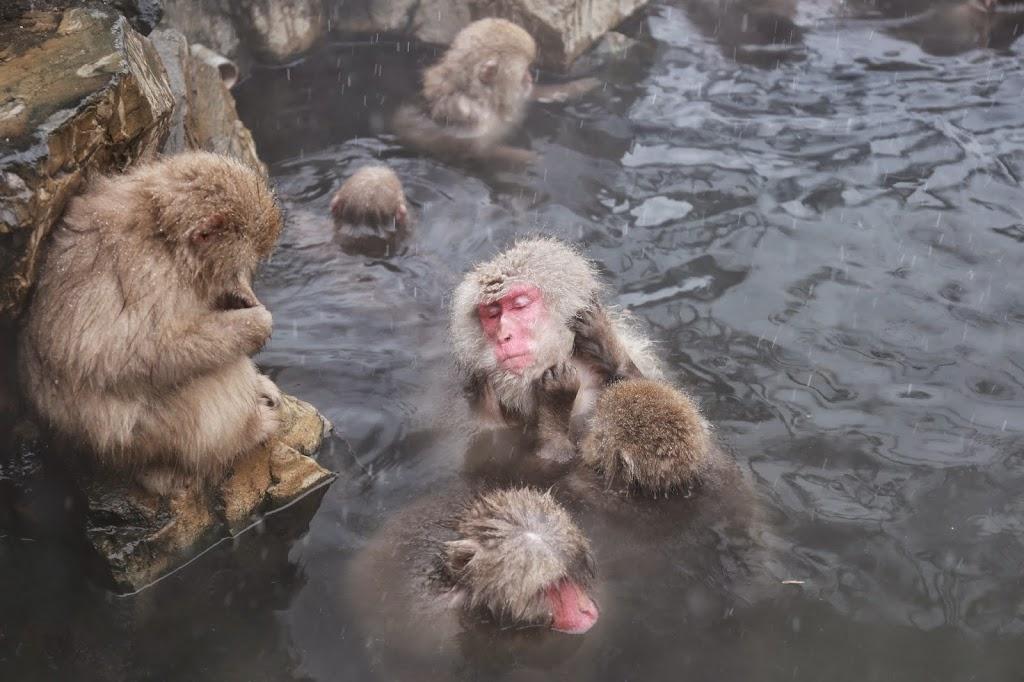 Bathing Snow Monkeys Japan