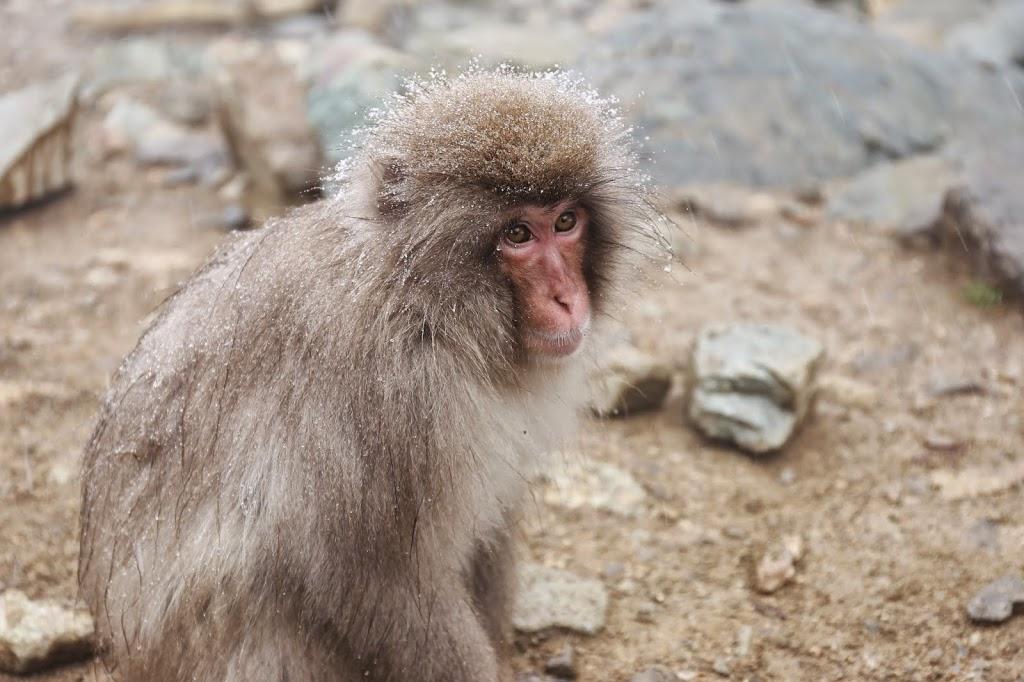 Snow Monkey Jigokudani
