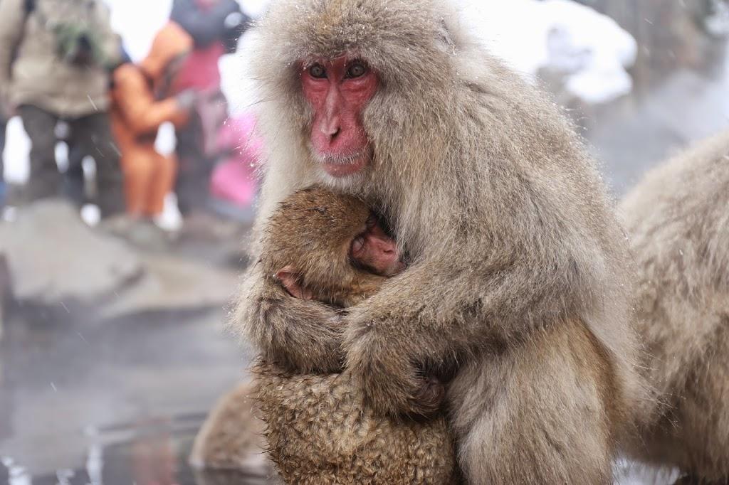 Snow Monkeys at Hot Spring