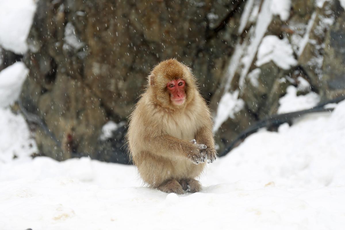 Snow Monkey Jigokudani Yaen Park Japan