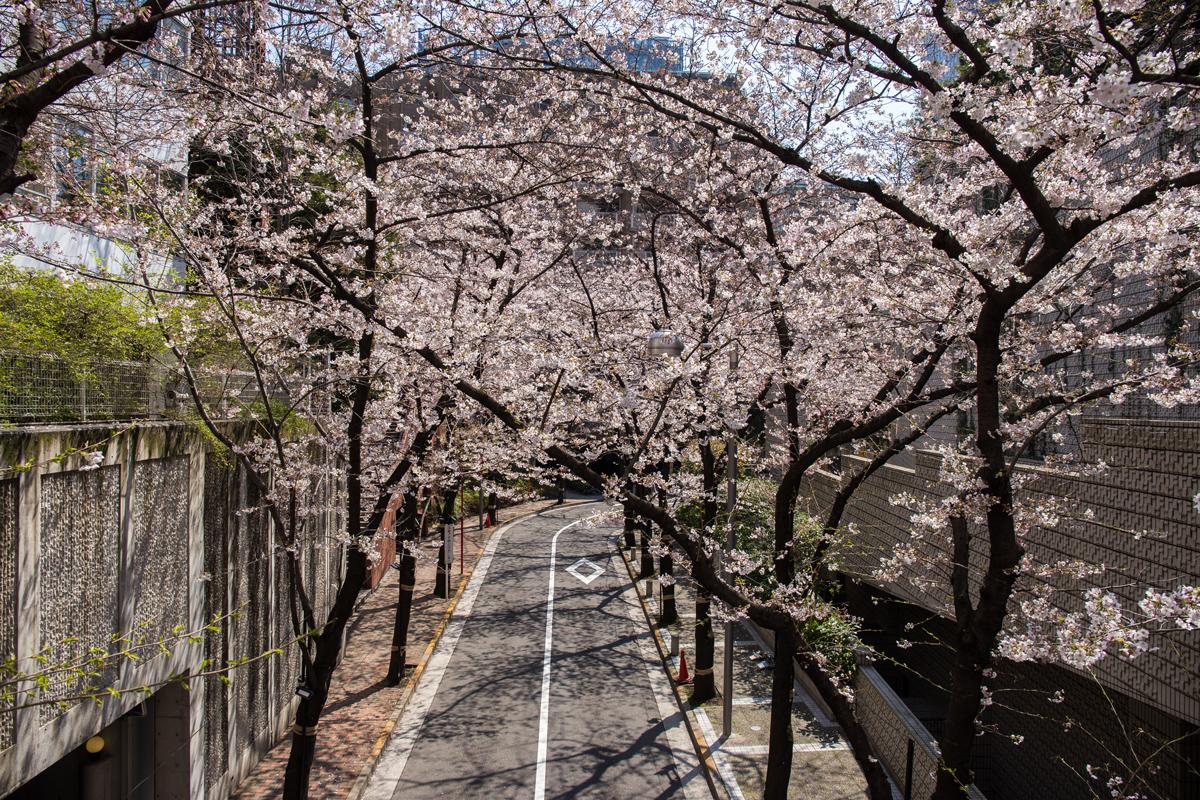 Cherry Blossom Akasaka Sakurazaka