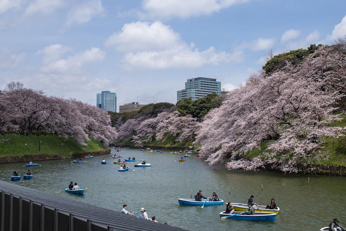 Cherry Blossoms at Chidorigafuchi