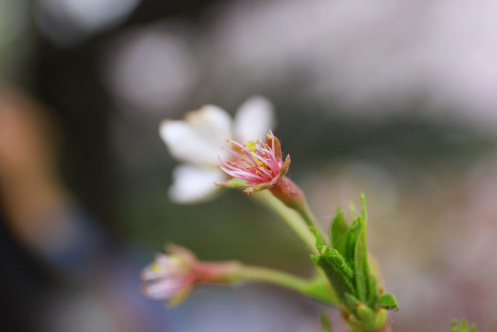 Dying Sakura
