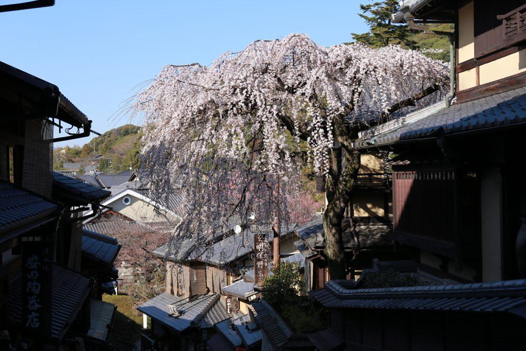 Shidare-zakura Kyoto