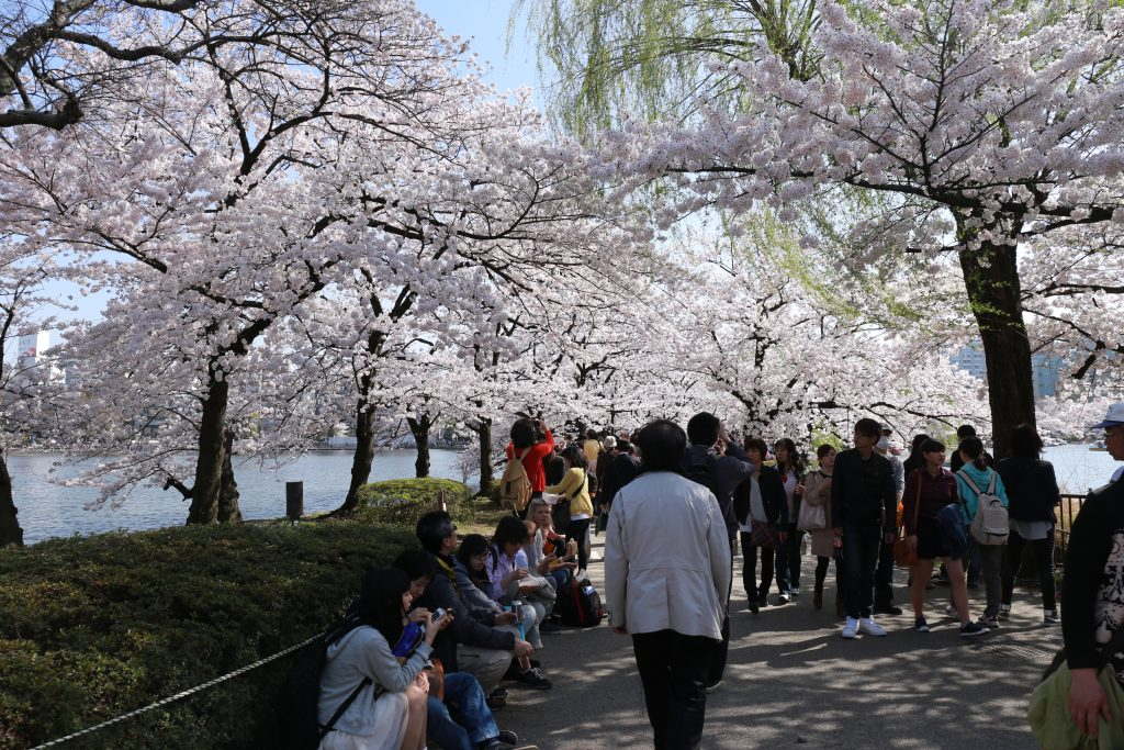 Ueno Park Cherry Blossoms