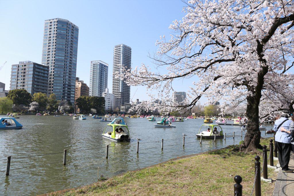 Sakura at Shinobazu Pond Tokyo