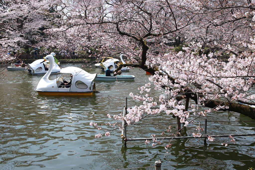 Cherry Blossoms at Inokashira Koen Park