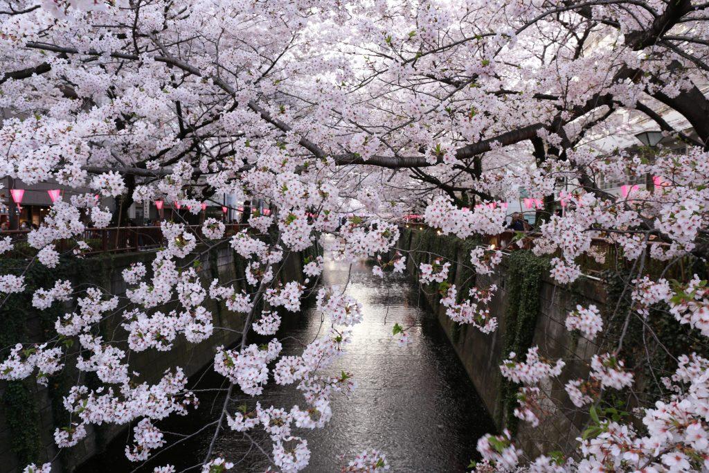 Cherry Blossoms at Meguro River Nakameguro