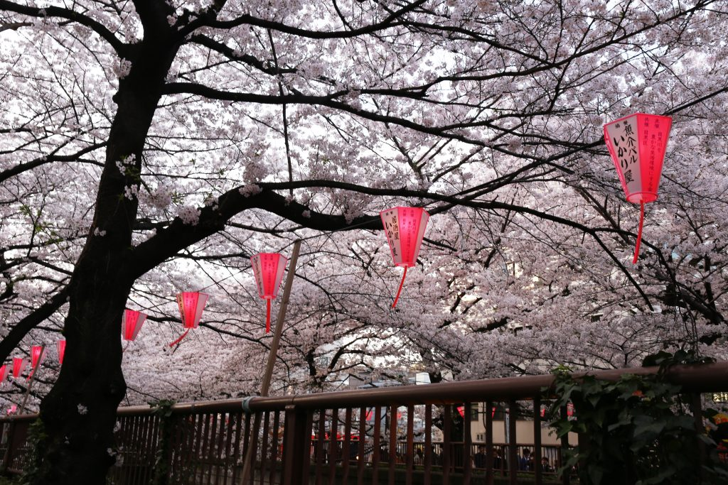 Nakameguro Cherry Trees
