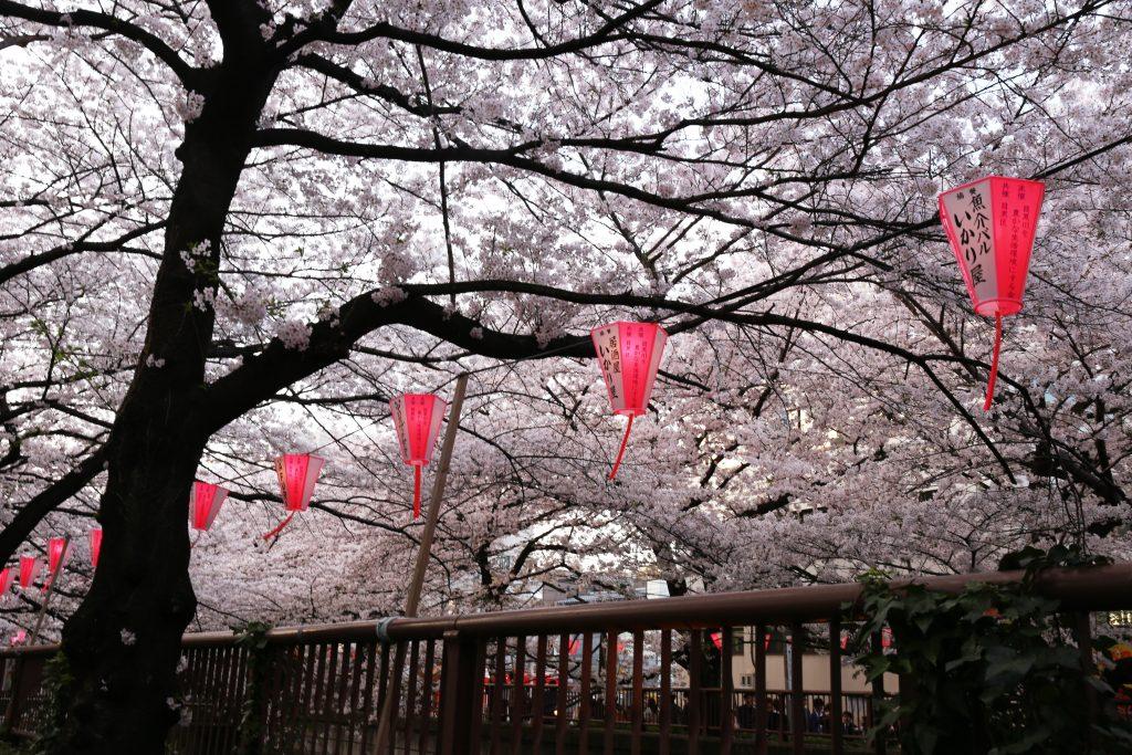 Nakameguro Cherry Trees