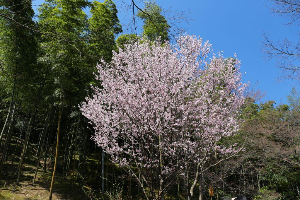 Sakura Bamboo forest
