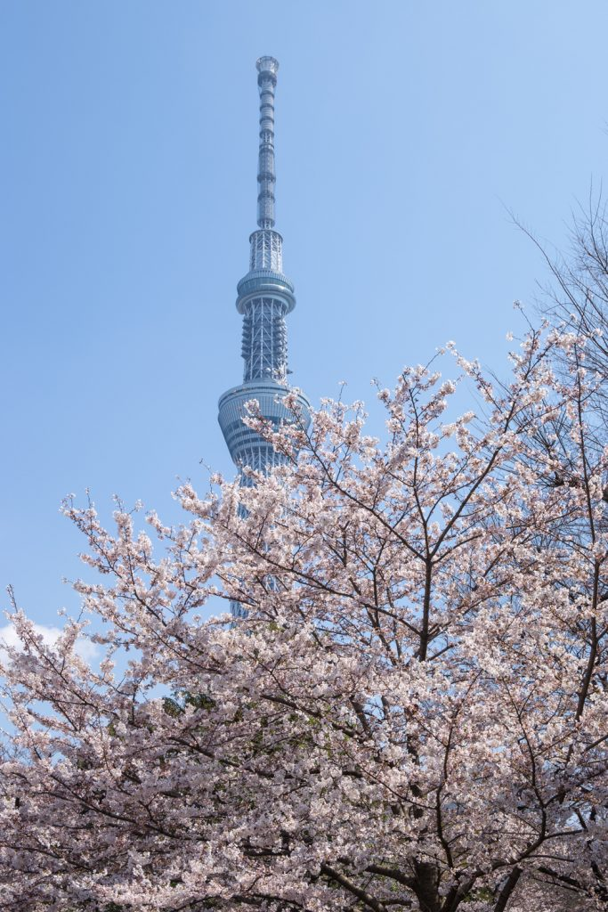 Skytree and Sakura at Sumida Park