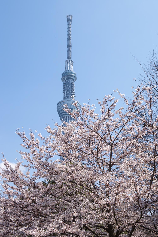 Skytree and Sakura at Sumida Park
