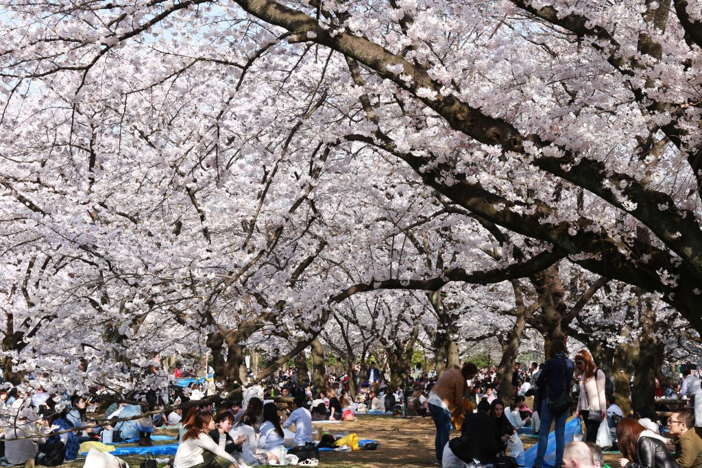 Cherry Blossoms in Yoyogi Koen Park