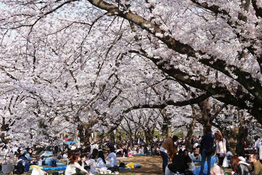 Cherry Blossoms in Yoyogi Koen Park