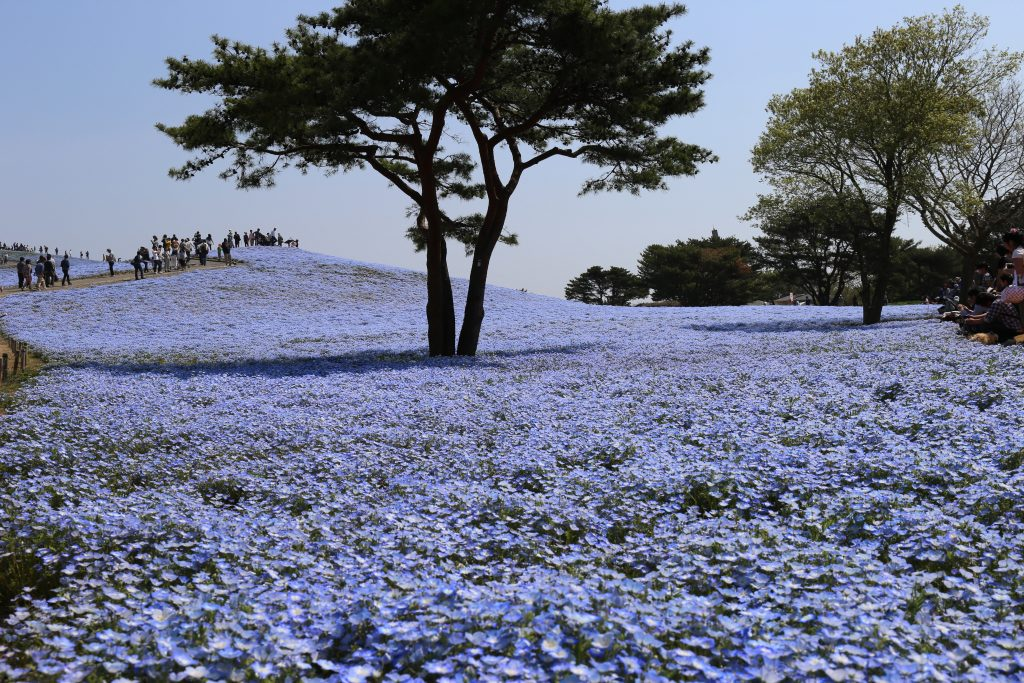 Blue Eyes Nemophila Japan