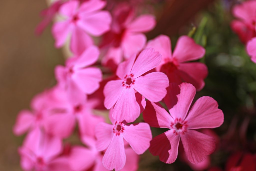 Moss Pink Shibazakura