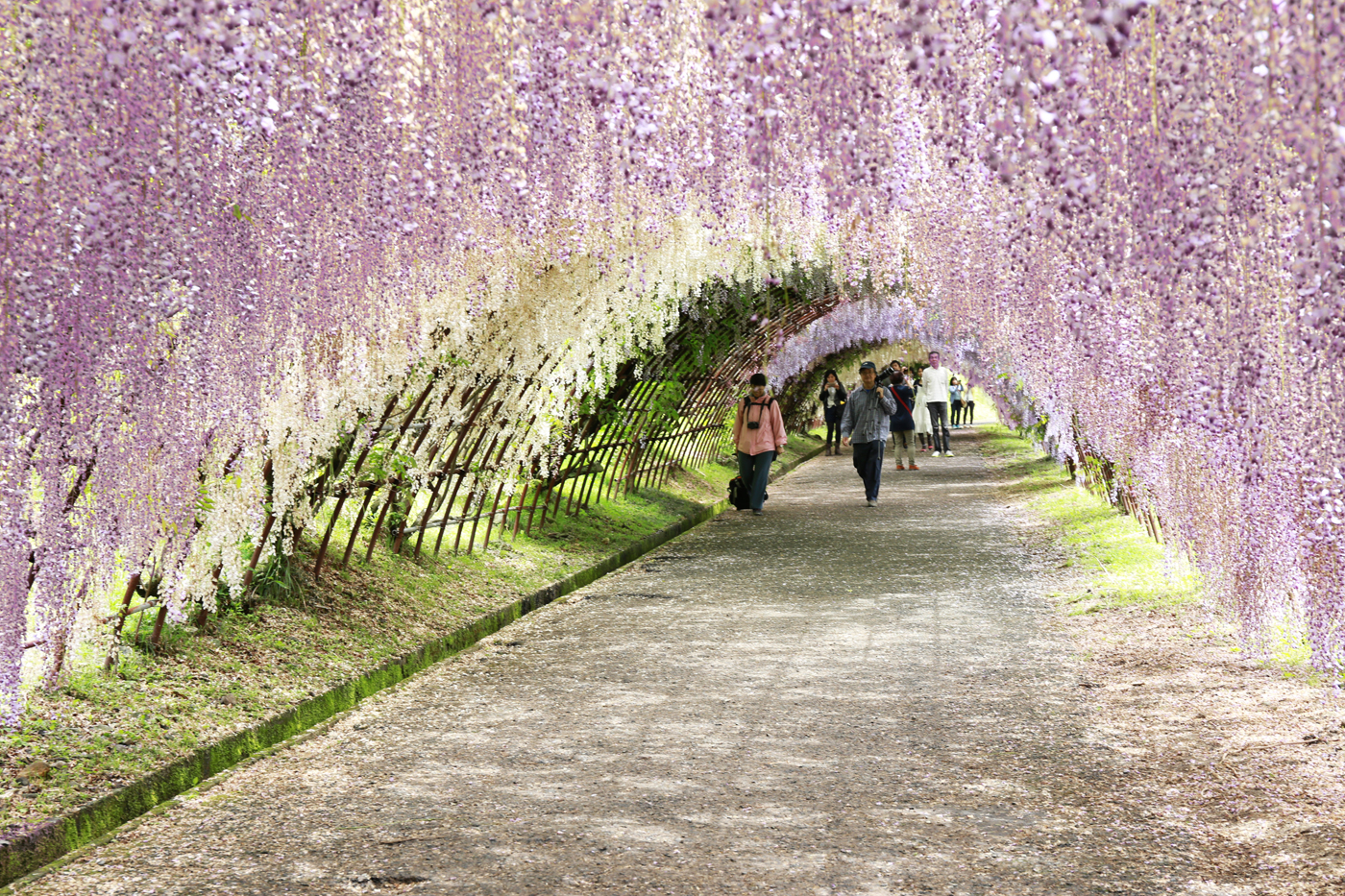 Wisteria tunnel kawachi fuji garden kitakyushu Wisteria flower tunnel path in japan
