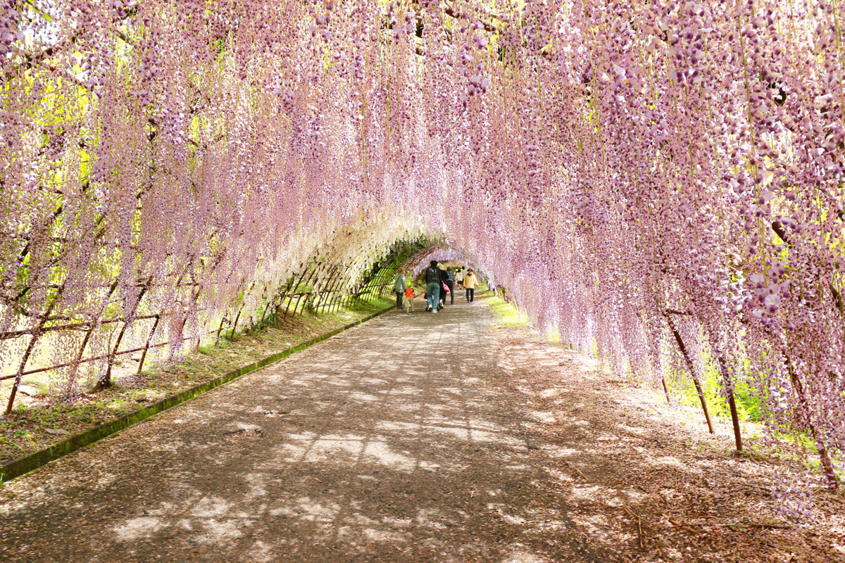 the wisteria tunnel in kawachi gardens japan are a straight out