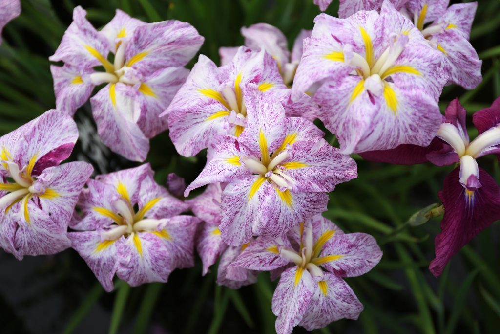 Colourful Iris