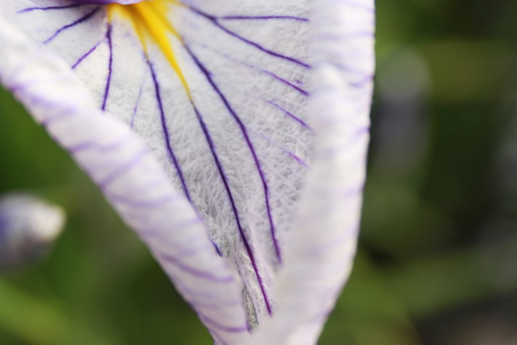 Iris in Macro Lens