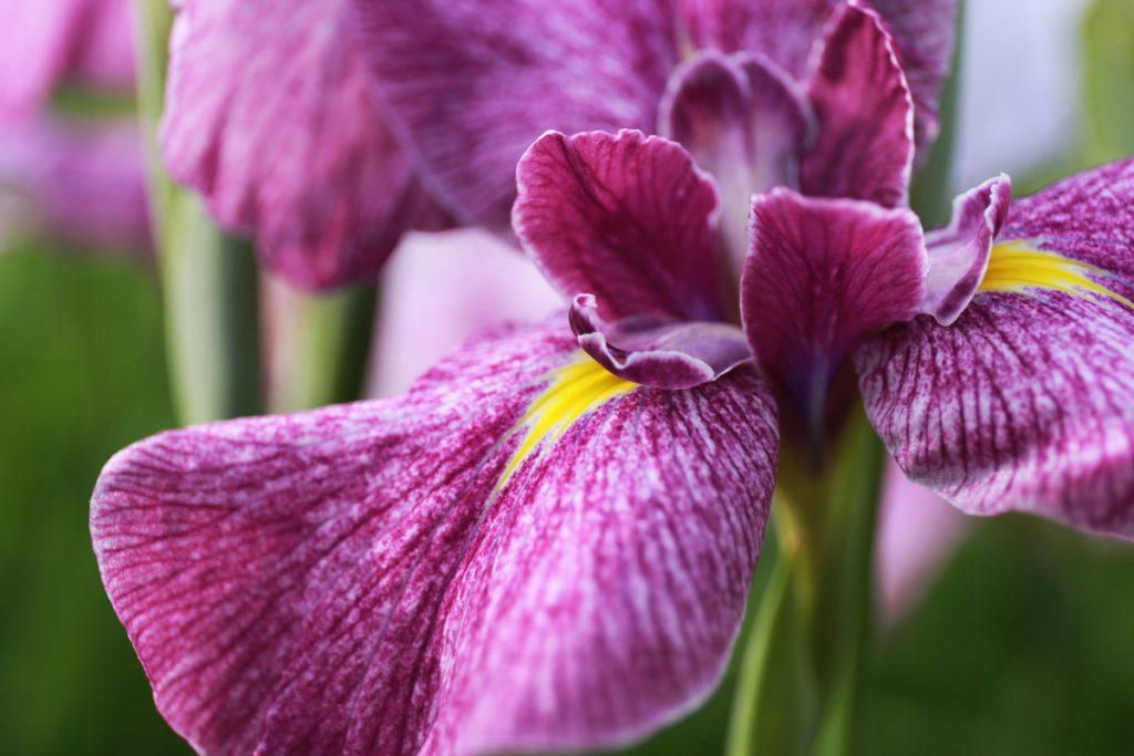 Japanese Purple Iris