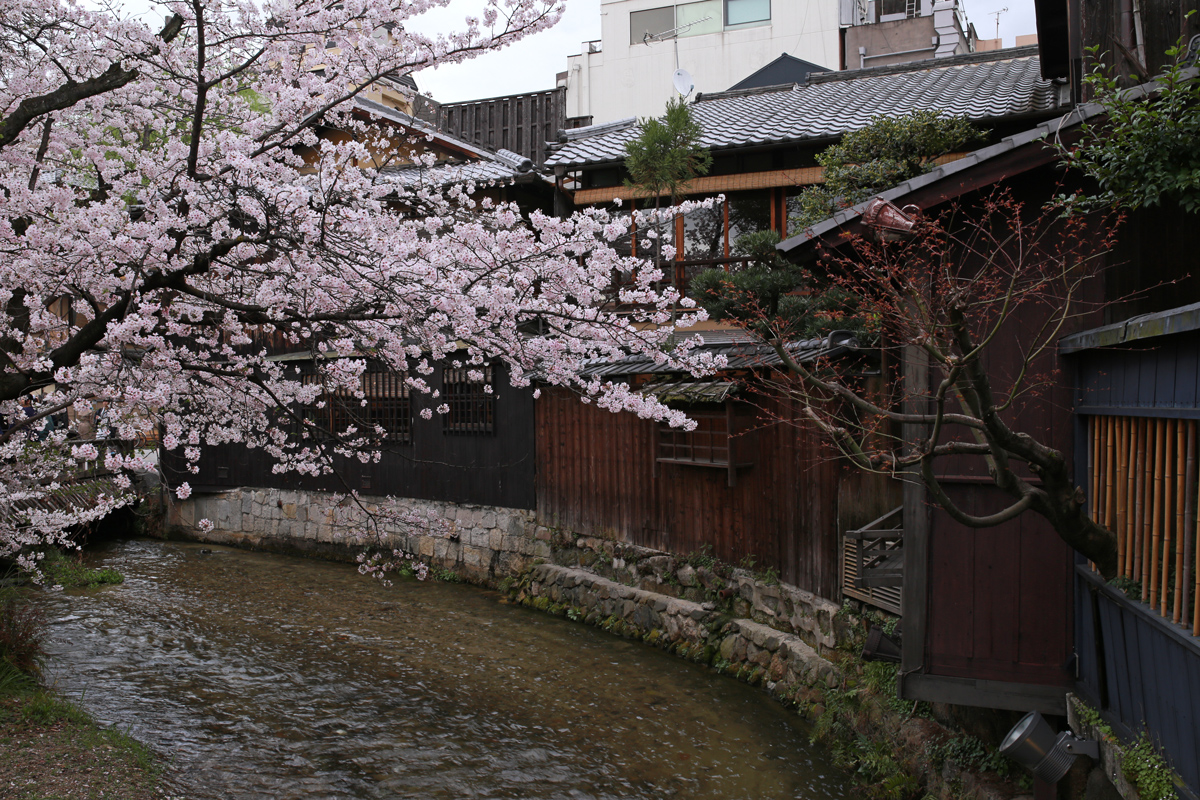 Cherry Blossoms at Gion Shirakawa
