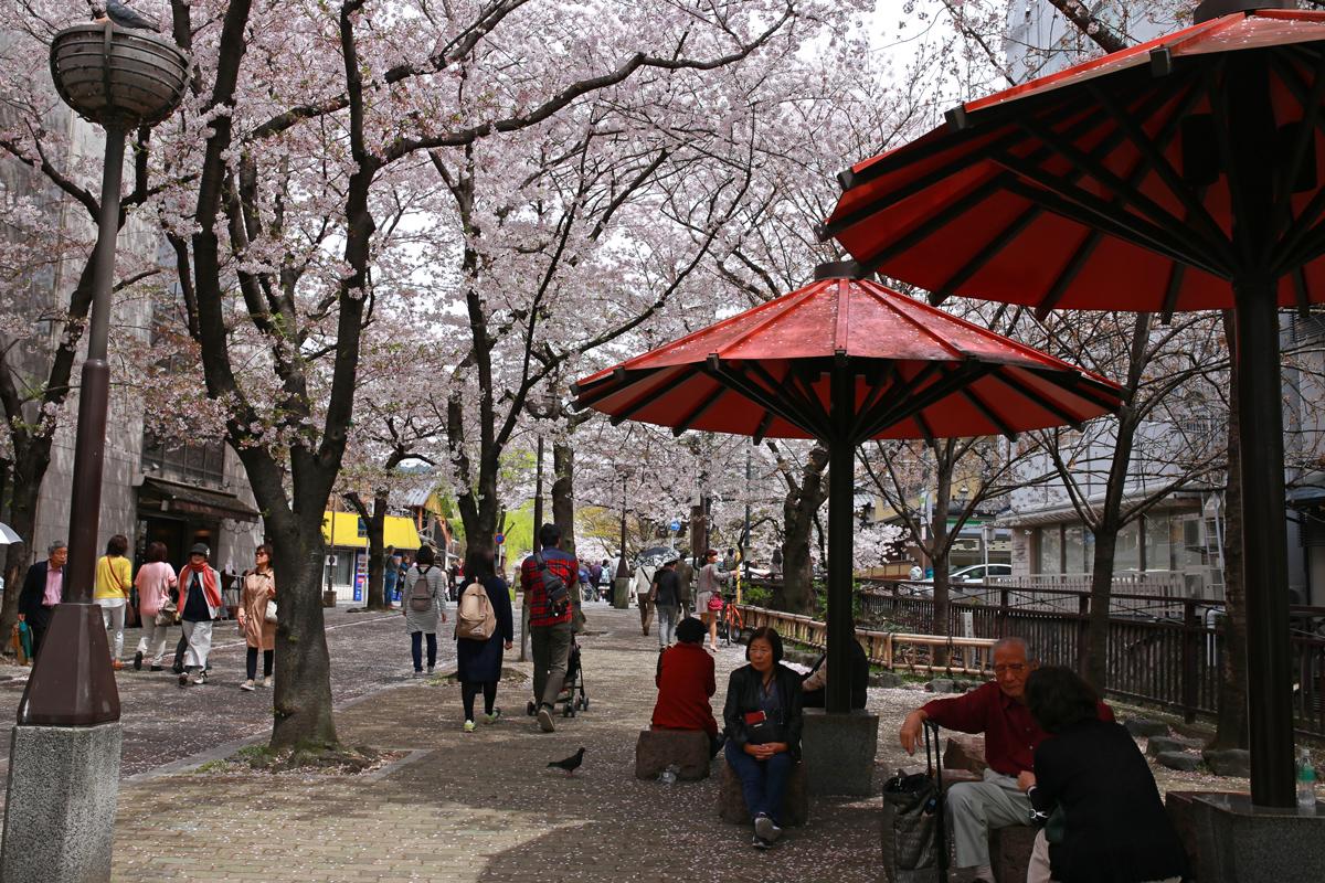 Sakura viewing at Gion-Shirakawa
