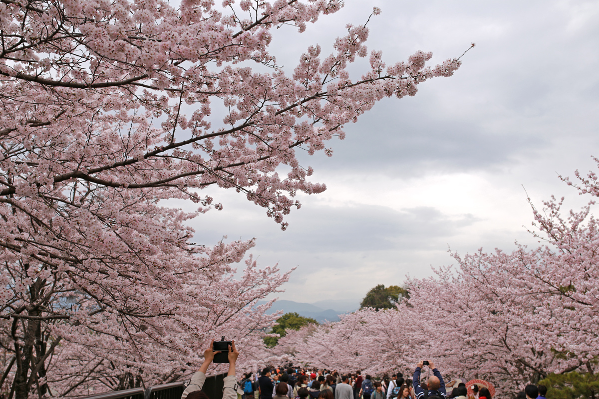 Cherry Blossoms at Kaege Incline