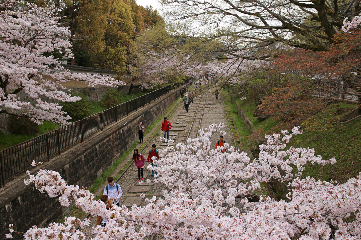 Sakura at Kaege Incline Kyoto