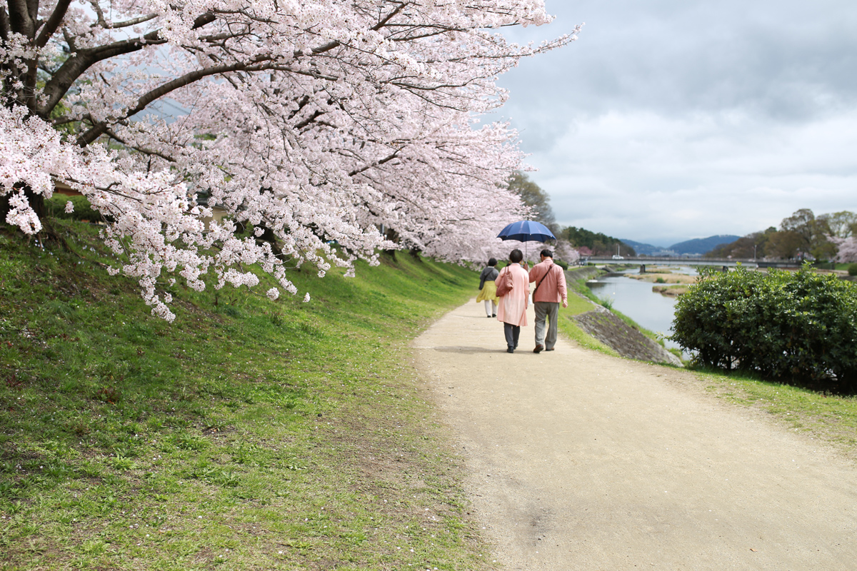 Cherry Blossoms along Kamo-gawa River