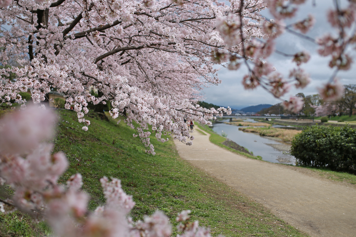 Cherry Blossoms Viewing in Kyoto