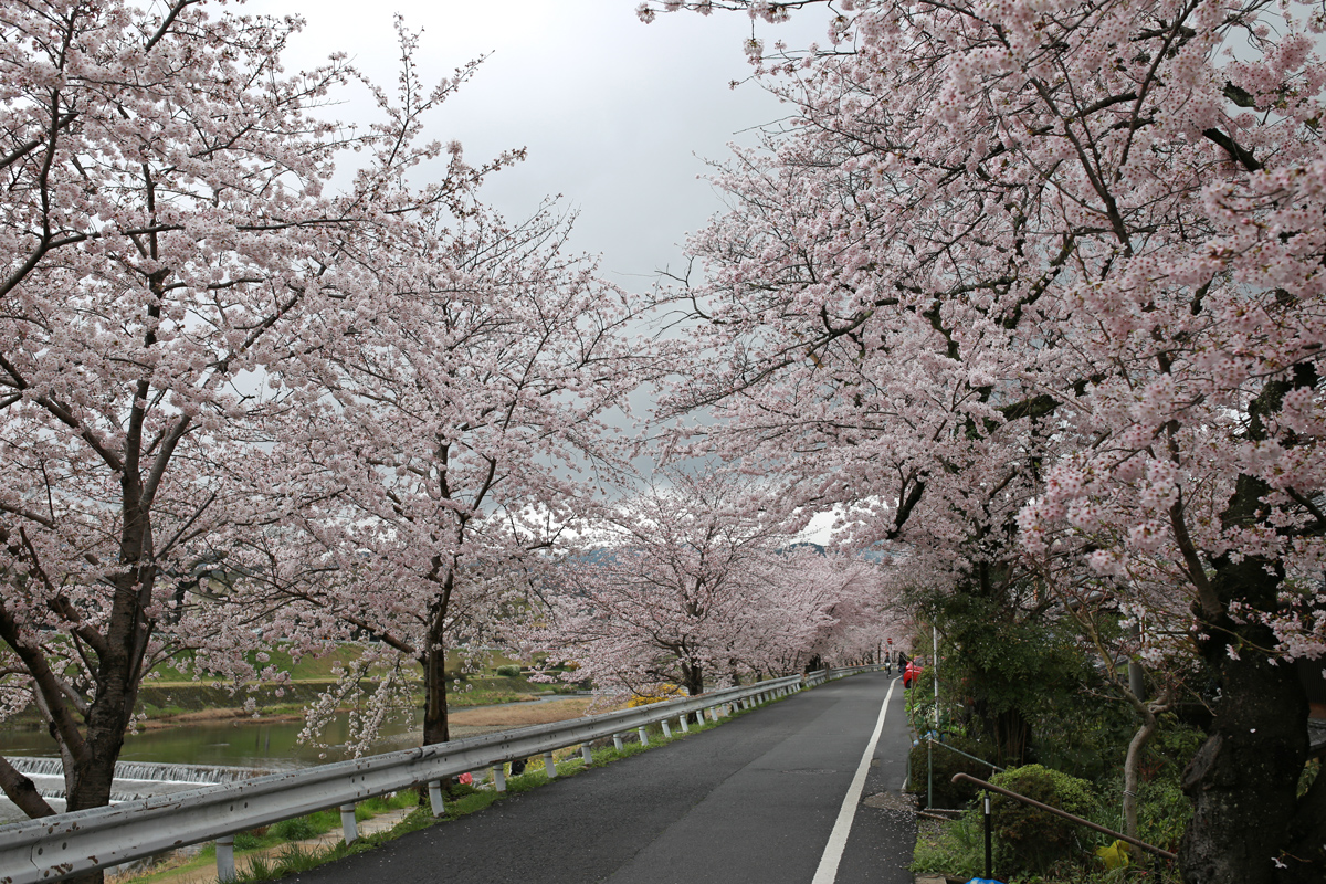 Cherry Blossoms along Kamogawa Riverside Road