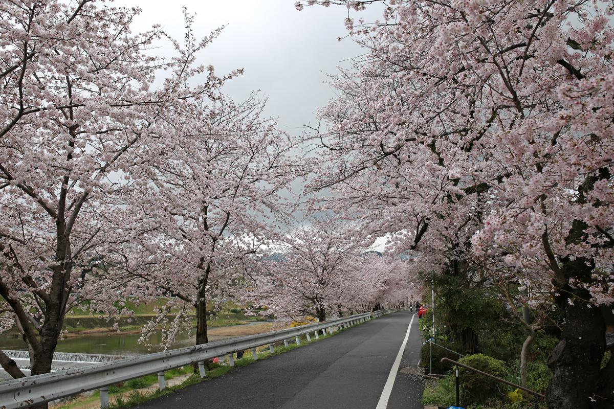 Cherry Blossoms along Kamogawa Riverside Road