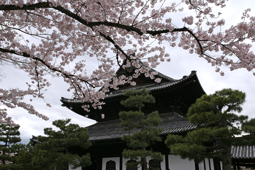 Kennin-ji Temple and Cherry Blossoms