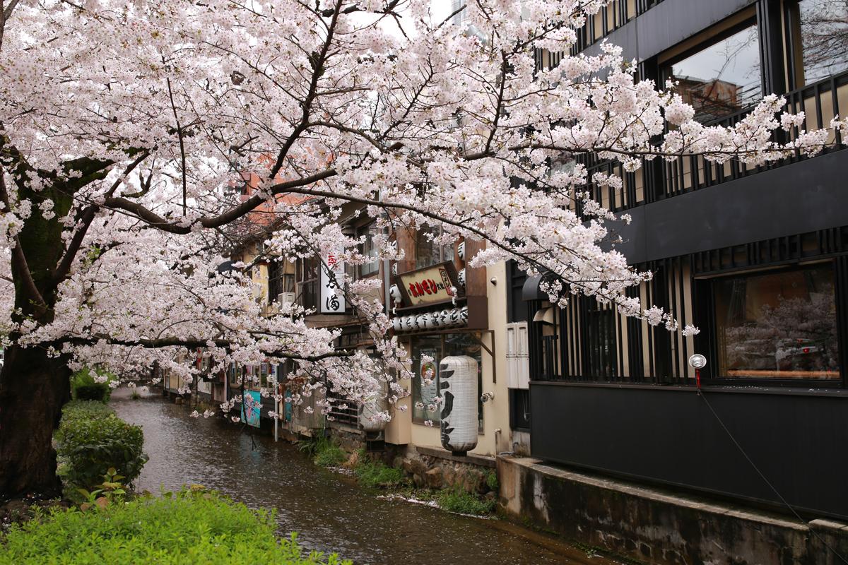 Kiyamichi-Takasegawa Cherry Blossoms