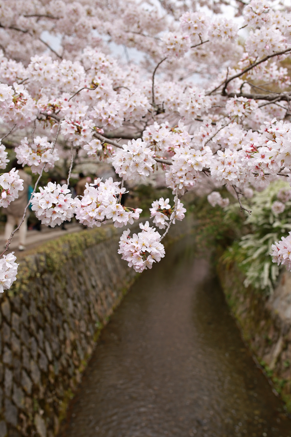 Cherry Blossoms on Philosopher's Path
