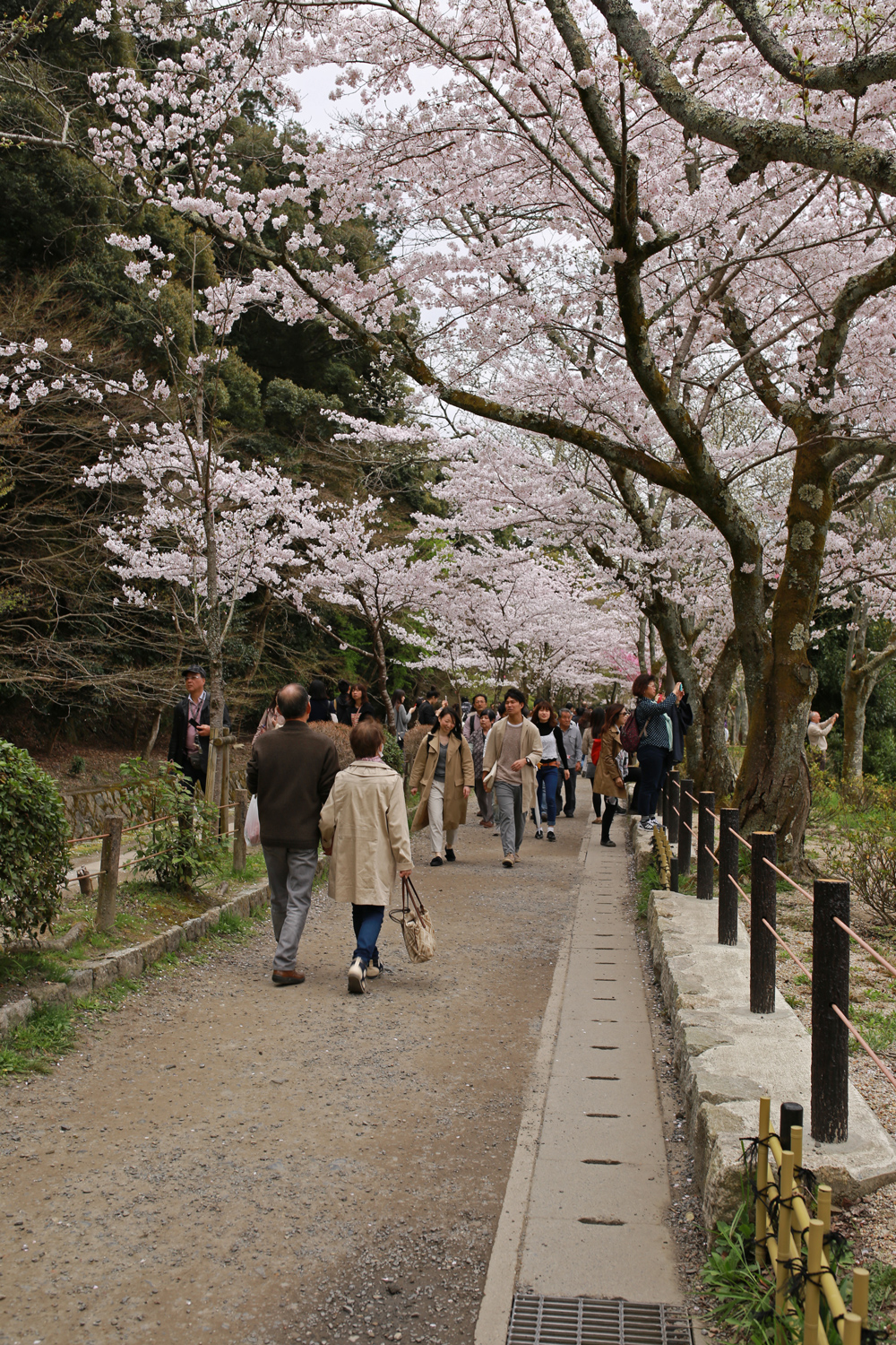 Cherry Blossoms at Philosopher's Path