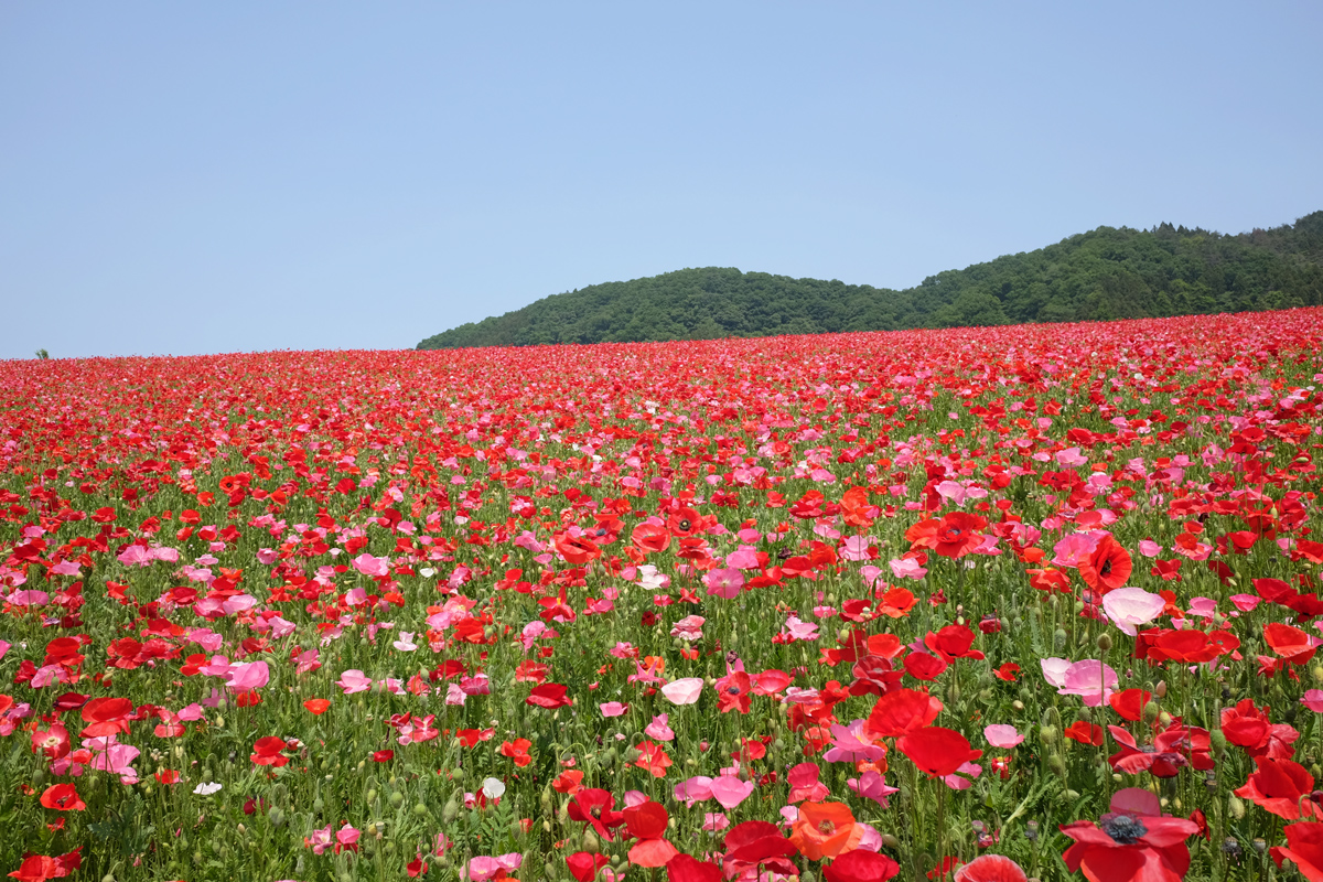 Chichibu Poppies in the Sky