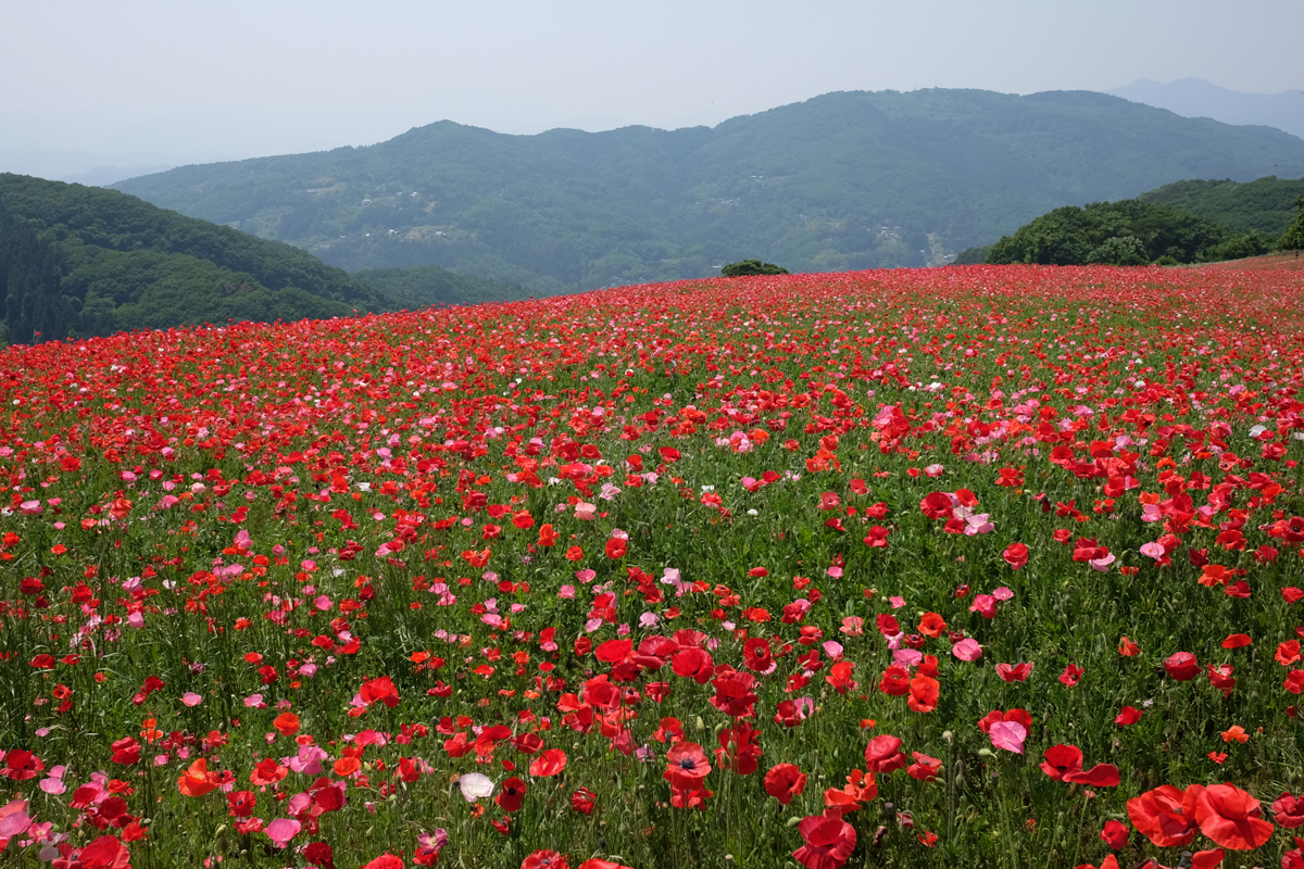 Chichibu Poppy Garden and Hills