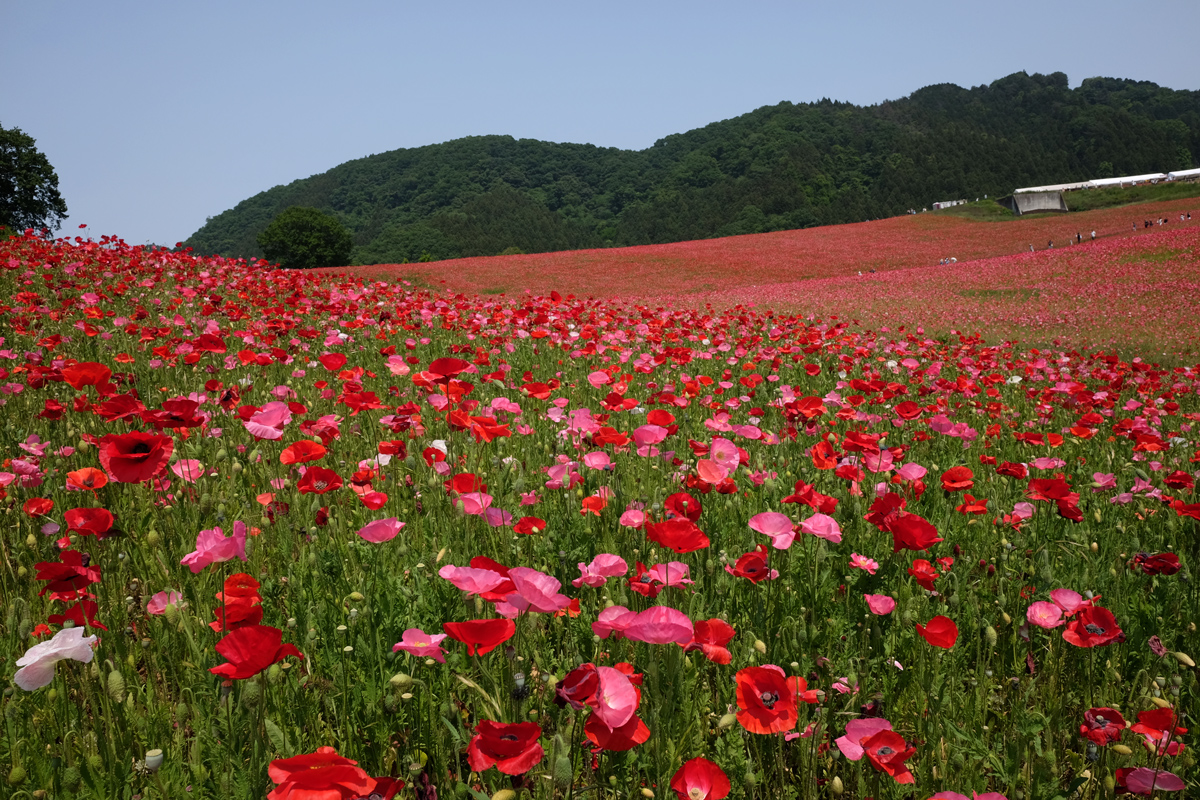 Chichibu Poppy Garden