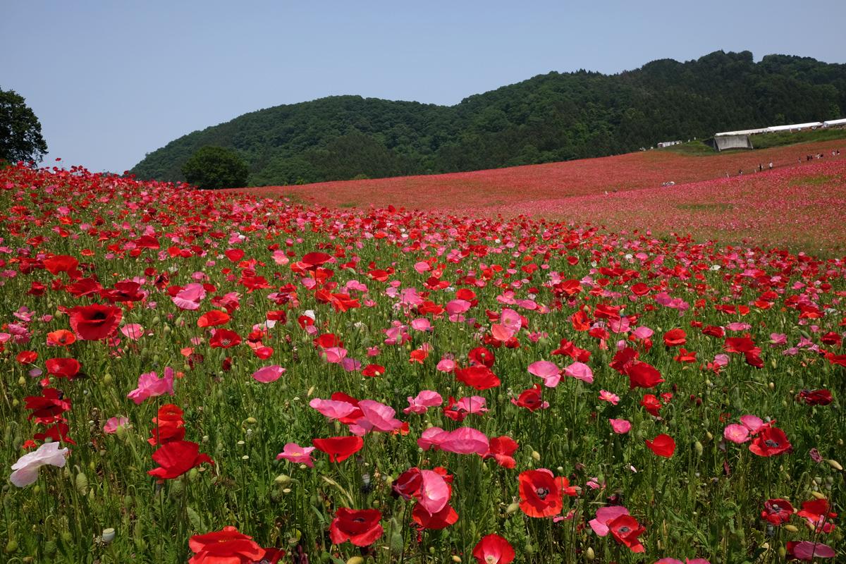 Chichibu-Poppy-Garden