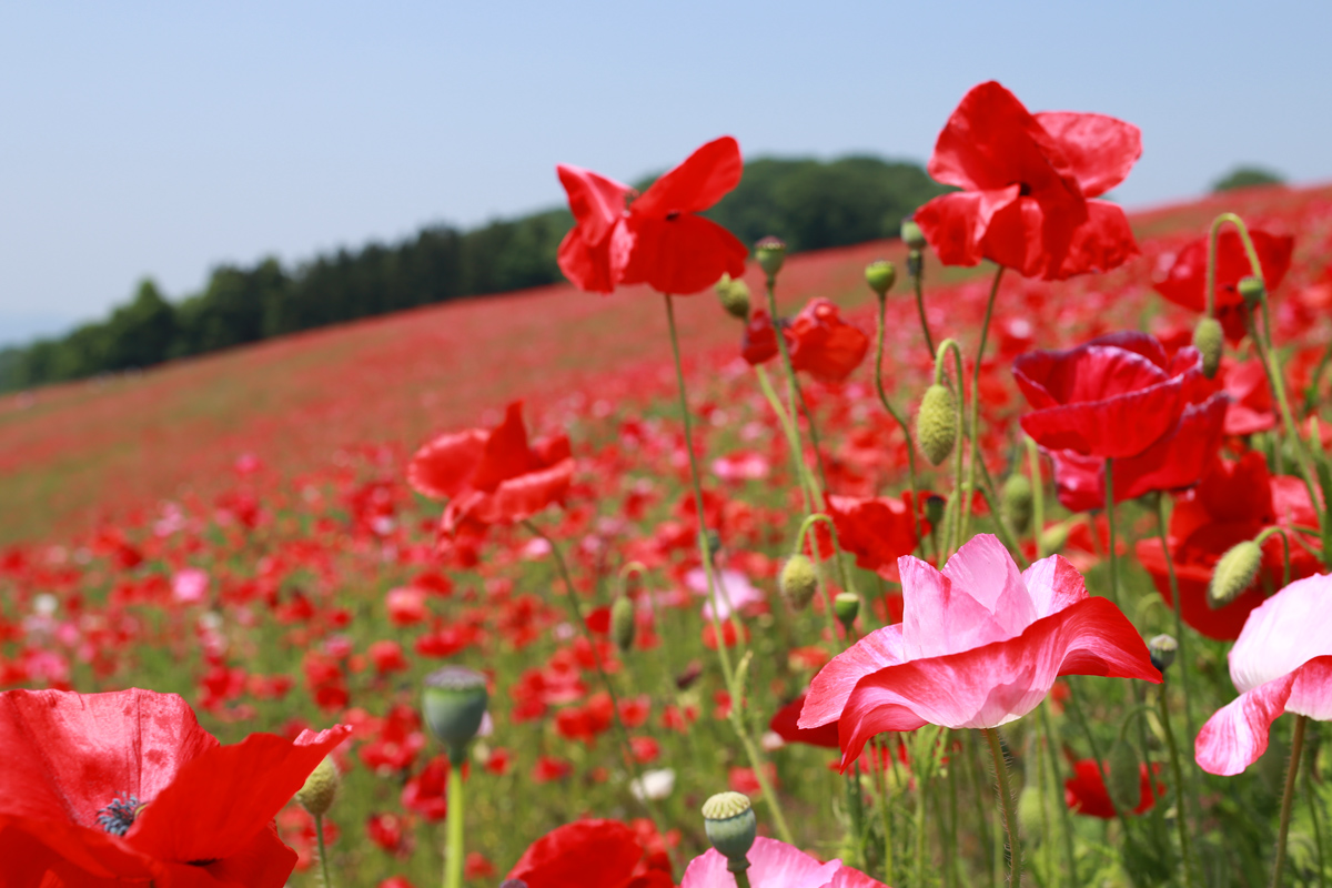 Pink and Red Poppies Chichibu
