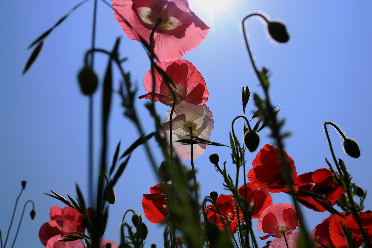 Poppies and Blue Sky Chichibu