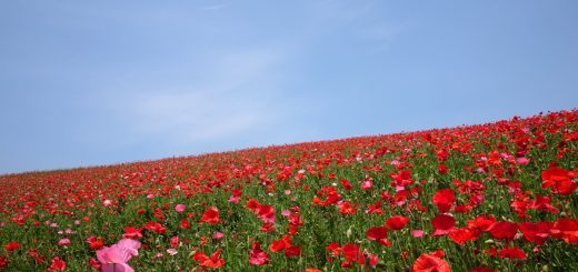 Poppies-in-the-Sky-Chichibu